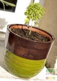 cultiver du basilic en pot sur le rebord de la cuisine jardipartage