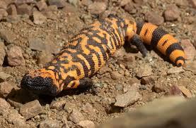 Crested Gecko Shedding Behavior by Lizard San Diego Zoo Animals U0026 Plants