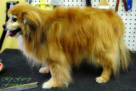 American Eskimo Shedding Problem by Pet Grooming The Good The Bad U0026 The Furry Grooming Pomeranians