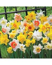 new savings on daffodil bulb mix 3 months of daffodils mixture