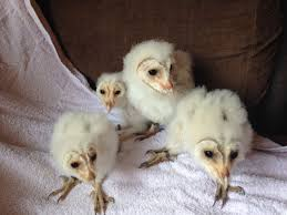3 Beautiful Baby Barn Owls For Sale | Seaham, County Durham ... Barn Owl Focus On Cservation Best 25 Baby Ideas On Pinterest Beautiful Owls Barn Steal The Show As Day Turns To Night At Heartwood Family Ties Owl Chicks Let Their Hungry Siblings Eat First The Perch Uncommon Banchi Baby Coastal Home Giftware From Horizon Stock Image Image Of Small Young Looking 3249391 You Know Birdnote Banding By Alex Lamoreaux Nemesis Bird