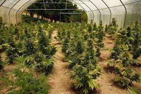 culture d autofloraison en serre culture de plantes de cannabis