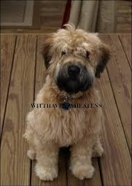 Do Wheaten Terrier Puppies Shed by Witthaven Wheatens Canadian Kennel Club Reg U0027d