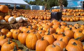 Pumpkin Patches In Bakersfield Ca by Find Corn Mazes In Temecula California Big Horse Corn Maze