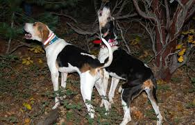 Do Treeing Walker Coonhounds Shed by Hunting Dog Breeds 33 Of The Best Gun Dogs Puppies U0027n Dogs