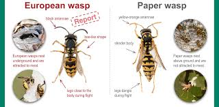 european wasp identification guide agriculture and food