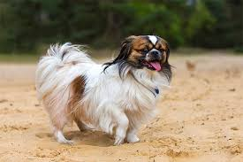 List Of Dogs That Shed Hair by Tibetan Spaniel Dog Breed Information Pictures Characteristics