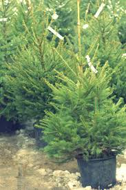 Are Christmas Trees Poisonous To Dogs by How To Care For Your Potted Christmas Tree