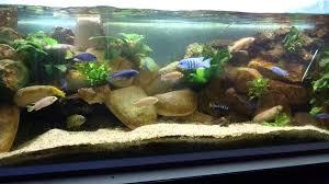 aquarium 450 litre cichlidés du lac malawi