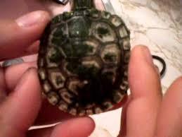 turtle shell turning white youtube