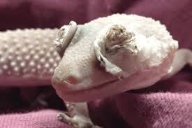 Crested Gecko Shed Stuck On Eye by Gecko Shed Hotelroomsearch Net