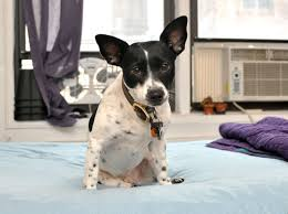 Stop Rat Terrier Shedding by 9 Essential Tips For Surviving A Small Apartment With A Dog The