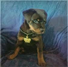 Do Miniature Pinschers Shed by Little Vea Vea Rottweilers Pinterest Rottweilers