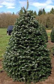 Nordmann Fir Christmas Tree Seedlings by Christmas Trees Oregon Agriculture In The Classroom