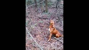 Do Redbone Coonhounds Shed by Squirrel Hunting With A Redbone Youtube