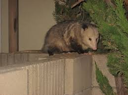 Possum In Backyard | Outdoor Goods All About Opossums Wildlife Rescue And Rehabilitation Easy Ways To Get Rid Of Possums Wikihow Animals Articles Gardening Know How 4 Deter From Your Garden Possum Hashtag On Twitter Removal Living In Sydney Opossum Removal Services South Florida Nebraska Rehab Inc Help Nuisance Repel Gel Barrier Sealant For Squirrels And Raccoons To Of Terminix