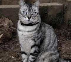 haired cats american wirehair cats american wirehair cat breed info