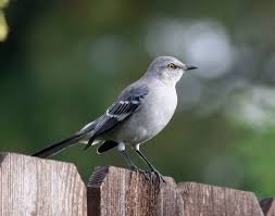 Bird Northern Mockingbird (Mimus Polyglottos) The Northern ... Sibleys Backyard Birds Wings And Feathers Pinterest Bird Grow These Native Plants So Your Can Feast Audubon Winter Feeding Tips For Happy And Healthy Pics Florida Wild Co Watching De My Life In A Northern Town Cedar Waxwing Birds Utah Google Search Weve Seen The Butterflies Butterflies Of New England Yok David Feeding At My Father Nature Bird Feeder Jacksonville Serenity Spell Attracting Creating Habitat For Wildlife Barn