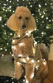Christmas Tree Shop Middletown Ny by A Christmas Decorated Apricot Standard Poodle Purebred Dogs And