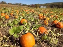 Pumpkin Picking Nj Near Staten Island by Mazezilla Corn Maze U0026 Klingel U0027s Farm Produce Stand