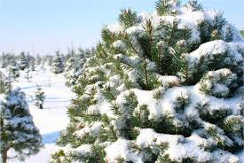 Fraser Fir Christmas Trees North Carolina by How To Pick The Perfect N C Christmas Tree Charlotte At Home