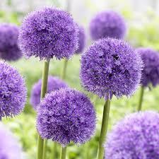allium globemaster has big 10 blooms atop 2 3 stems beautiful