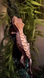 Crested Gecko Shedding Signs by Crested Geckos Correlophus Ciliatus