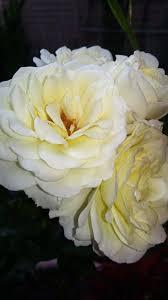 100 Rosee Summer White Rosee FLAME DU COLORS Beautiful Flowers Flowers
