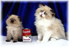 tea cup cat adorable teacup boutique kittens