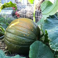 Stages Of Pumpkin Growth by The Red Warty Thing