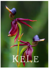 series orchid plants seeds flying duck orchid seeds like ducks