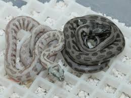 Coastal Carpet Python Facts by 59 Best Carpet Python Morphs Images On Pinterest Python Jaguar