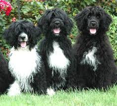 Portuguese Water Dog Non Shedding by Portuguese Water Dog A Westside Story