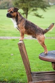 Do Border Terriers Shed by Which Dog Coat Type Is Best For You Choosing The Right Dog For