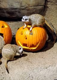Bronx Zoo Halloween 2014 by Halloween Spirit Bronx Zoo Lucifer Arrives At London Zoo For
