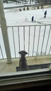 Cane Corso Italiano Shedding by 20 Best San Rocco Cane Corso Images On Pinterest Cane Corso