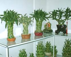 Plants In Bathroom Good For Feng Shui by Nurserylive 5 Best Good Luck Plants For Your Home Online At