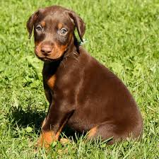 Do Miniature Doberman Pinschers Shed by Doberman Pinscher Characteristics And Personality Saveourpuppy Com