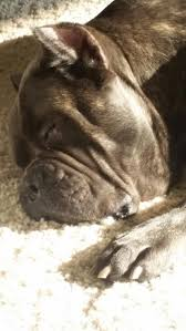 Cane Corso Italiano Shedding by 100 Best Cane Corso Images On Pinterest Canes Mastiff Dogs And