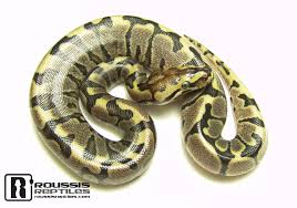 Ball Python Shedding Signs by Ball Python Care Sheet Roussis Reptiles Specializing In The
