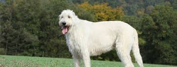 Irish Wolfhound Non Shedding by Dog Lovers Blog Page 31 Of 39 Pet Paw