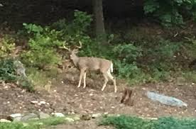 Right In My Backyard! - Deer Hunting - Hunting New York - NY ... My Backyard Garden Nation Of Islam Ministry Agriculture Super Groovy Delicious Bite Big Lizard In My Back Yard Erosion Under Soil Backyard Ask An Expert I Think Found Magic Mushrooms Wot Do This Video Is Hella Clickbait Youtube Dinosaur Storyboard By 100142802 Holes In The Best Home Design Ideas Cottage Months Ive Been Creating More Garden Rooms Cat Frances Aggarwal Backyards Terrific Rocks And Minerals Tree Growing Started Fruiting Can Someone Id