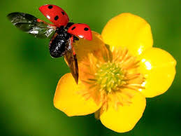 See in Slow Motion how Ladybugs Fit Wings Inside Their Spotted