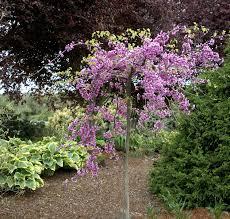 Lavender TwistR Redbud