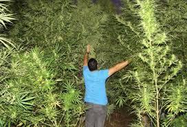 recolte cannabis exterieur date hémisphère nord vs hémisphère sud quand cultiver et quand récolter