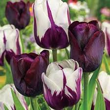 renewal reblooming iris michigan bulb co order 10 each iris and