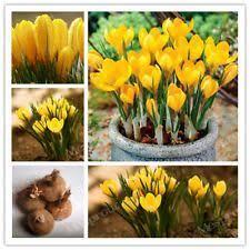 saffron crocus bulbs roots rhizomes ebay