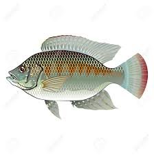 Raw Seafood Tilapia Fish Vector Stock