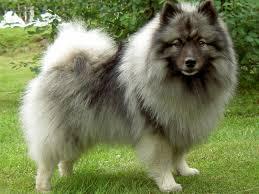 Do Pomskies Shed Fur by Spitz Type Dogs Dodogs