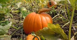 Pumpkin Patch Medford Oregon by 2017 Halloween Events Haunted Houses Corn Mazes Eugene